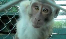Red aberne på Mauritius