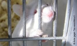 Mus, Ärzte gegen Tierversuche e.V.copyright,2