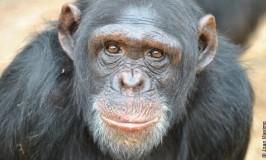 USA pensionerer 310 forsøgschimpanser