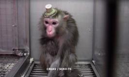 Hemmelige optagelser viser abers lidelser på tysk forskningsinstitut