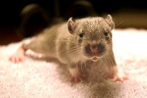 Flere end tusind dyr skånes for frygteligt forsøg
