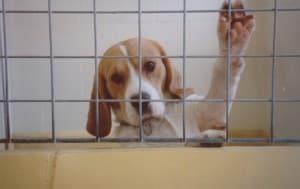 Harlan, beagle, 2000
