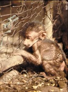 Gambia baboon 4