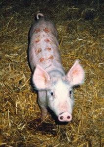 gris hudforsøg