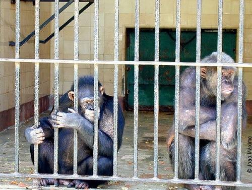Chimpanser på NIH,copyright3