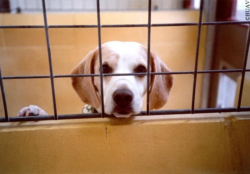 dog-vivisection-053, BUAV